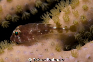 Clingfish at night at Barracuda Shoal, Exumas by Tobias Reitmayr